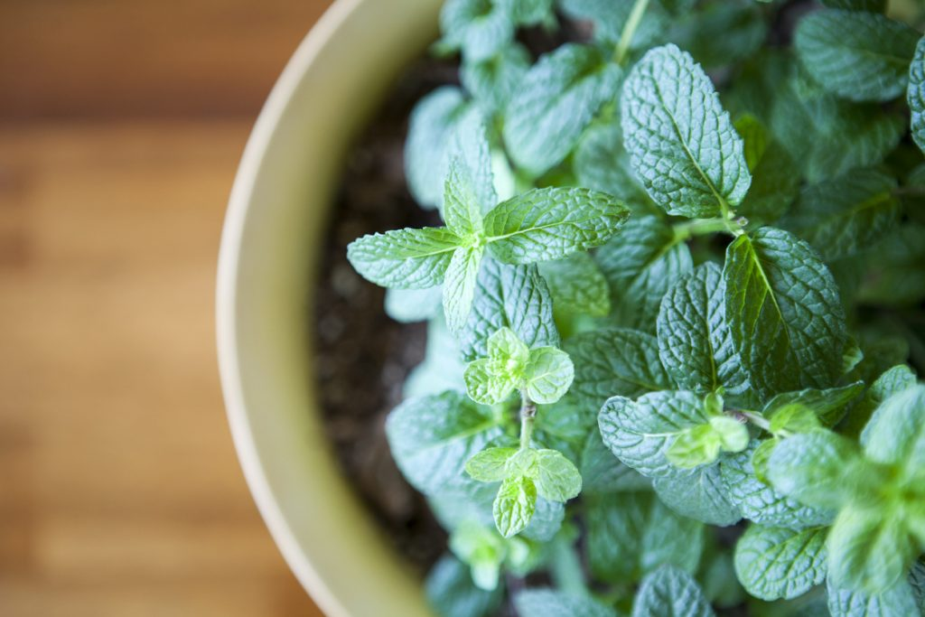 Fresh Mint Plant in pot