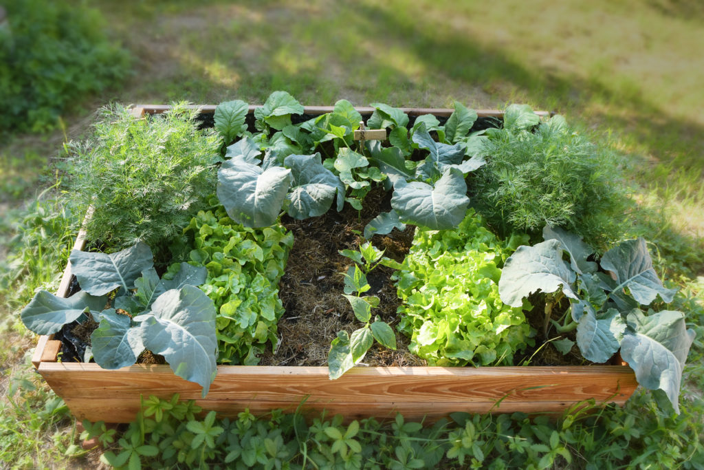 Raised bed with organic vegetable plants in the garden, gardening for healthy food